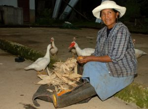 Producción de cacao (Orellana - Ecuador, Julio de 2012)