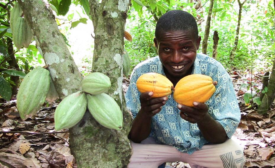 El precio del Cacao cae drásticamente debido a la especulación.